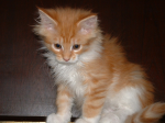 Cat-MaineCoon-Cookie